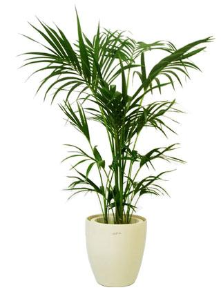 Kentia-Palm Indoor House Plant Philodendron on indoor ivy house plants, indoor house plant cactus, indoor house plant diseases, indoor climbing plants, indoor house plant palm, indoor house plant fern,