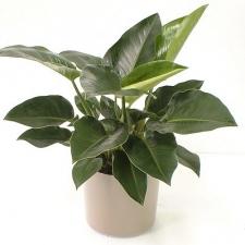 Philodendron Congo