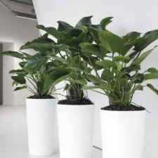Philodendron Congo in White Cones