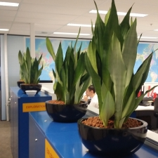 Sansevieria Moon Shine in Desk Planters