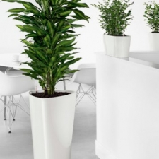 Dracaena Office Display