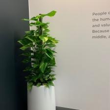 Devils Ivy  in Urn Planter
