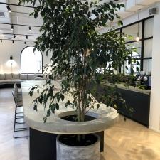 Large Ficus in Concrete Planter