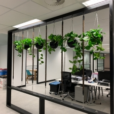 Devil's Ivy in Hanging Planters