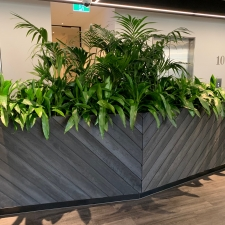 Kentia Palm and Dracaena Janet Craig in Joinery