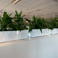 Dracaena Janet Craigs in Partition Troughs
