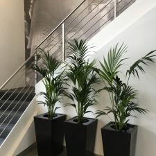 Kentia Palm in Black Wedge
