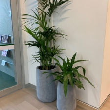 Kentia Palm & Dracaena Janet Craig Cluster