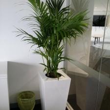Kentia Palm In Premium Wedge