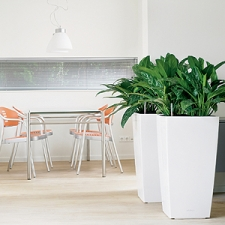Aglaonema in White Wedge