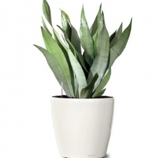 Sansevieria Moon Shine